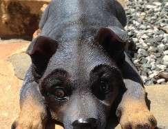 Blue Heeler Puppy Lying BA2109