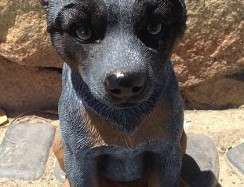 Blue Heeler Puppy Sitting BA2108